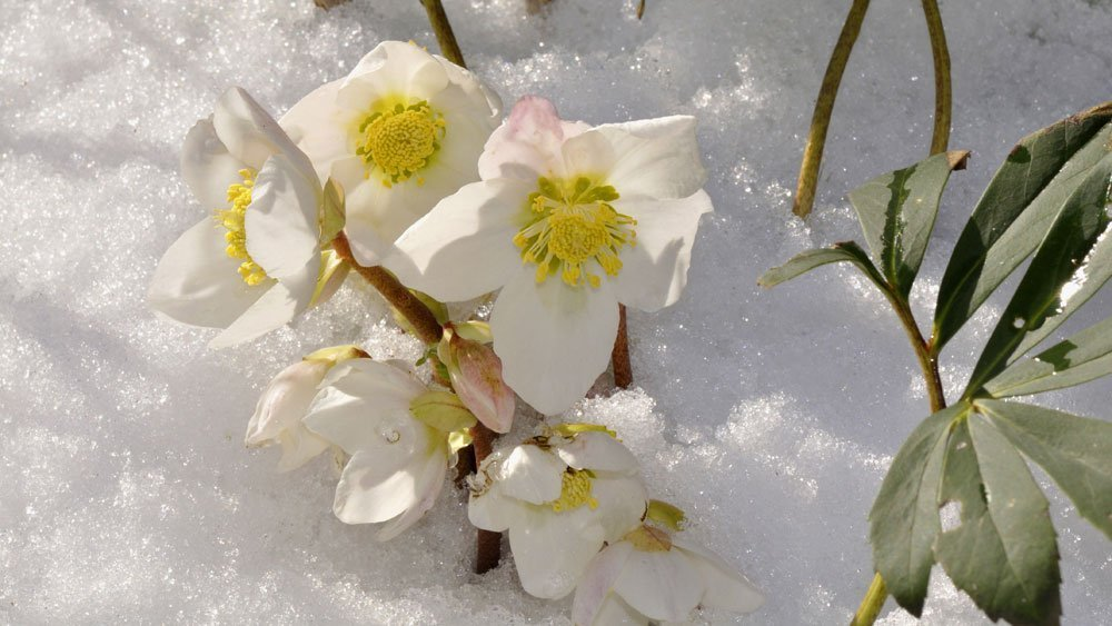 Christrose pflege im Winter