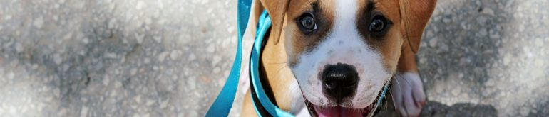 Smiling Young Pit Bull / American Staffordshire Terrier Puppy in