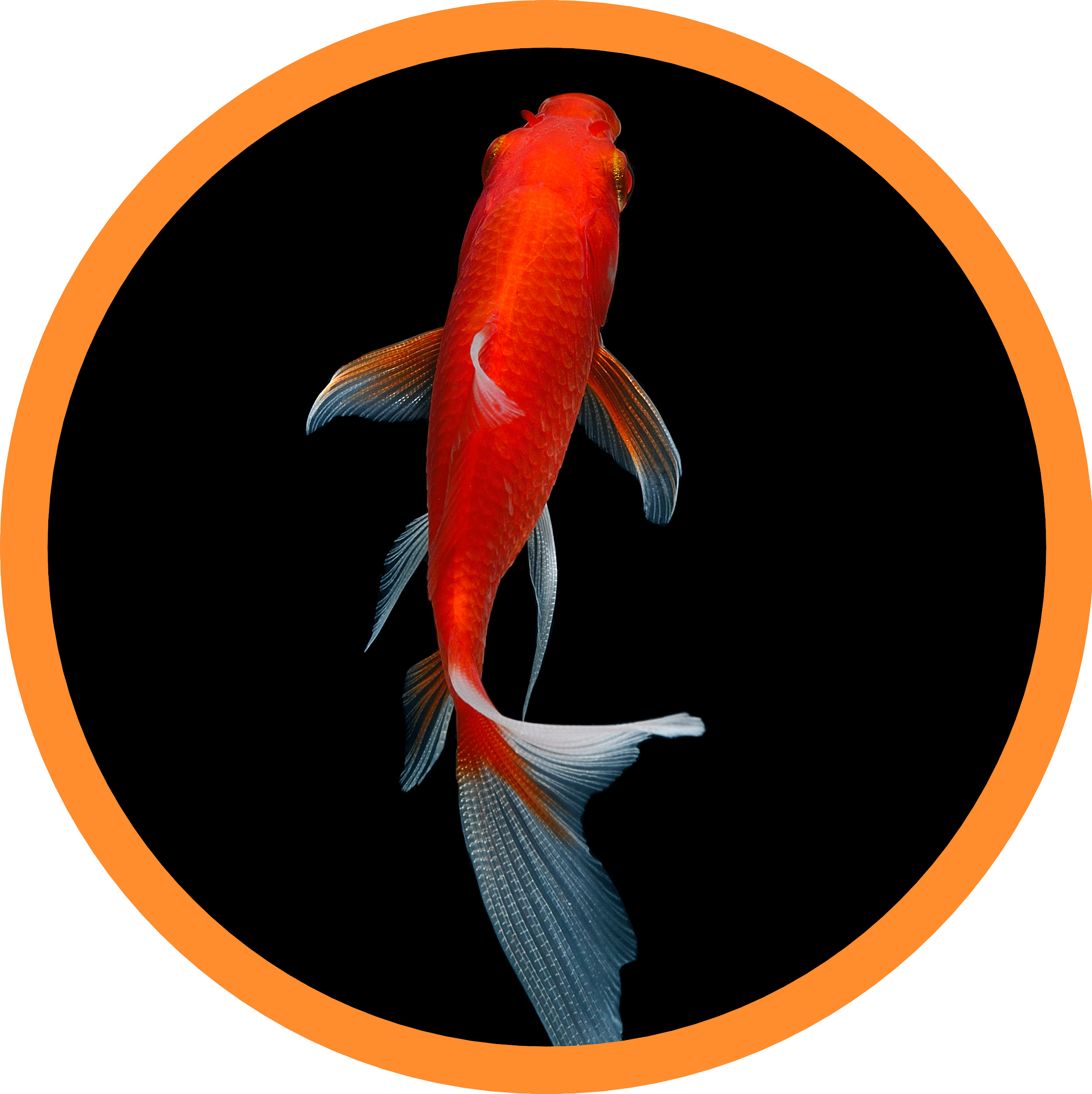 Koi Colorfutter